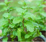 Mint Potted Herb Edible Plants