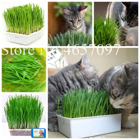 1000 Pcs Cat Grass Plant Herb Edible
