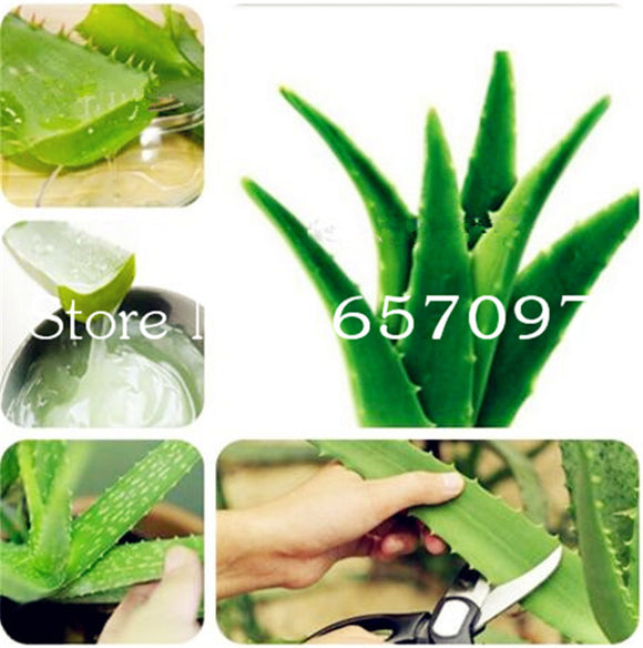 Green Aloe Vera Plants Edible