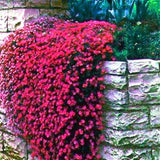 100 Pcs Aubrieta Rock Cress Cascade Purple Flower