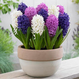 100pcs Hyacinth Bonsai Perennial