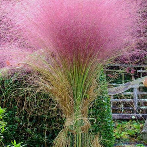 Muhlenbergia Capillaris Seedsplants Cold and Drought Tolerant