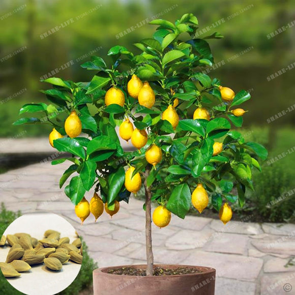 10 pieces/bag Lemon Tree