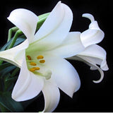 Elegant and Beautiful Lily Plant