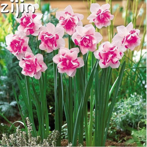 100 Pcs Narcissus Flower Bonsai