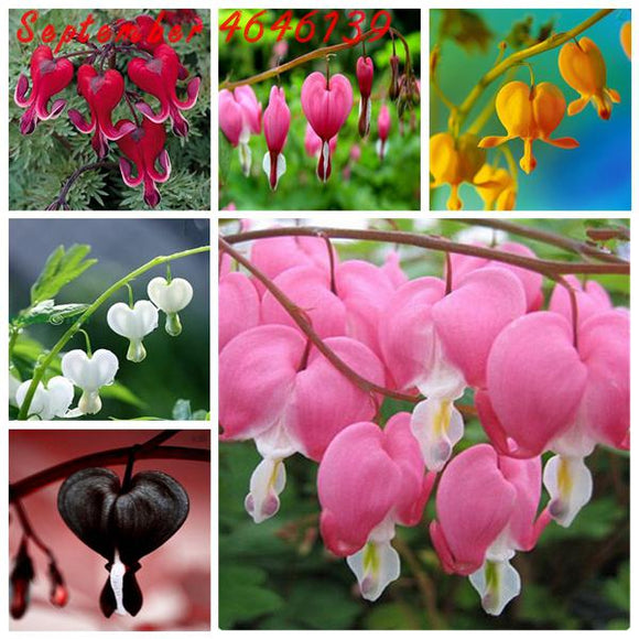100 pcs Dicentra Spectabilis Bleeding Heart