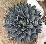 100 Pcs/ Bag Aloe Cacti Agave Bonsa