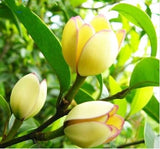 Magnolia Flowers for Home Garden