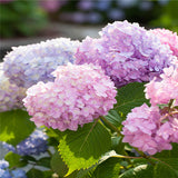 Multiple Color Choice Hydrangea Flower Plant