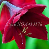 Hot Amaryllis Bonsai 100 Pcs Chinese Cheap Flower