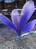 Purple Travelers Palm Flores Bonsai