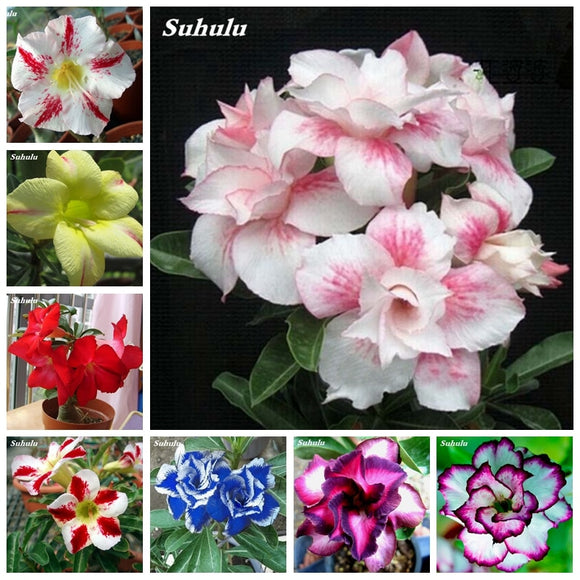 100% True Desert Rose Bonsai Ornamental Plants