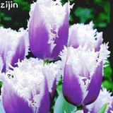 Tulip Plants Rare Bonsai Flower