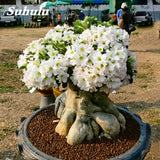 True Desert Rose Bonsai Ornamental Plants