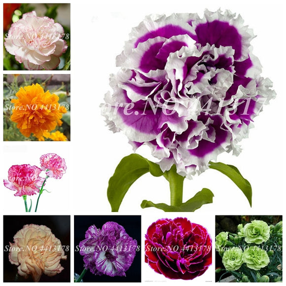 200 Pcs Hot Selling 24 Colors Carnation Plant