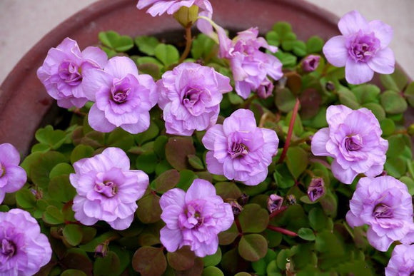 Rare oxalis nidulans pompom Flowers bulbs indoor