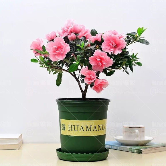 Pink Gardenia Bulbs Bonsai Plants