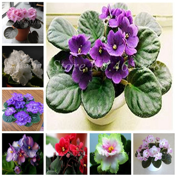 100 Pcs Mini Violet Rare African Flower