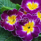 Primula Malacoides Flowering Plants