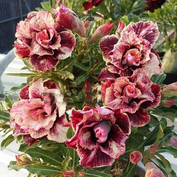 New breed Thailand grafted double-petal desert rose