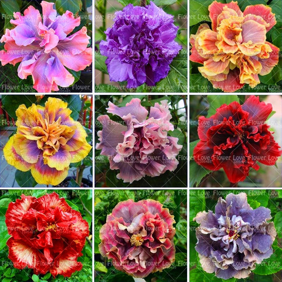 Perennial Plants Potted Flower For Home Garden Planting