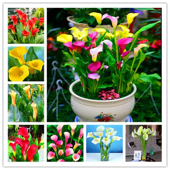 200 Pcs Calla Lily Flower