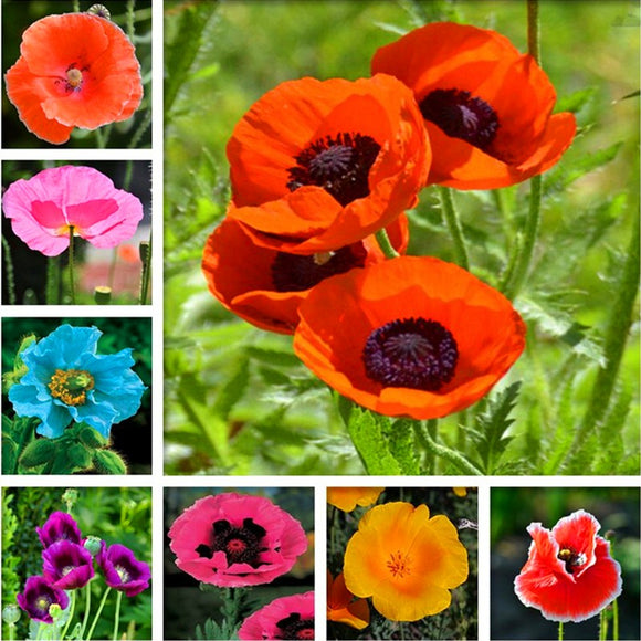 200 pcs Rare Poppy Papaver croceum