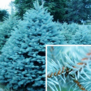 Blue Spruce Bonsais Picea Tree
