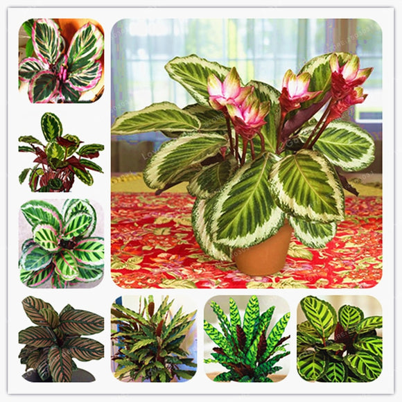50 PCS Rare Calathea  Bonsai  Air Freshening Plants
