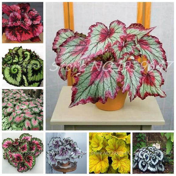 100 Pcs / Bag Beautiful Mixed Rare Begonia