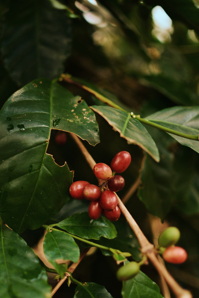 Coffee- What It Takes and What It Causes - Trip to Aceh
