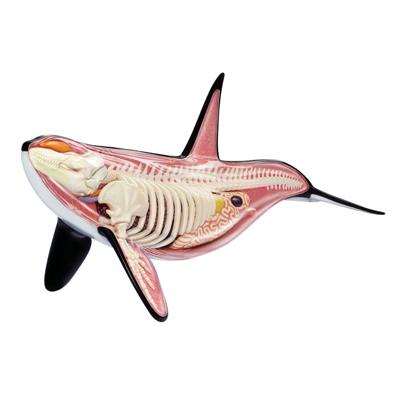 Orca Anatomy Model - Happki