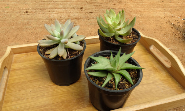 Group of succulent plants in a wooden tray