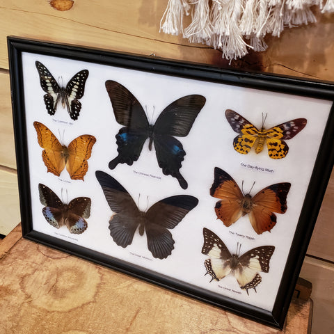 Butterfly framed specimen 8pc.