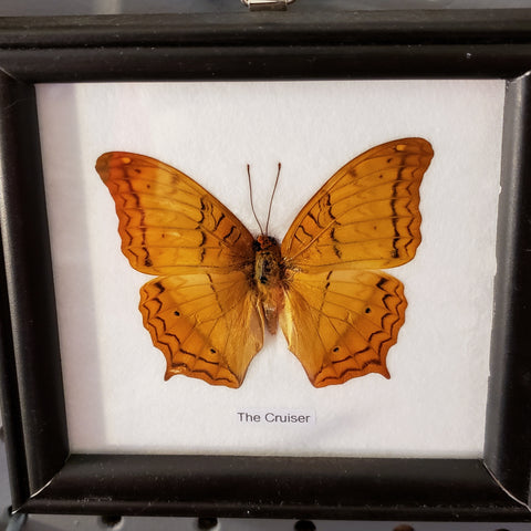 Single Butterfly framed specimen