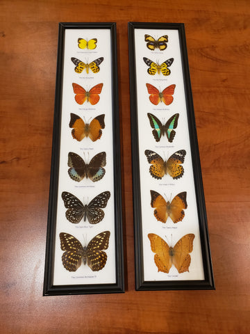 7 piece Butterfly specimen set