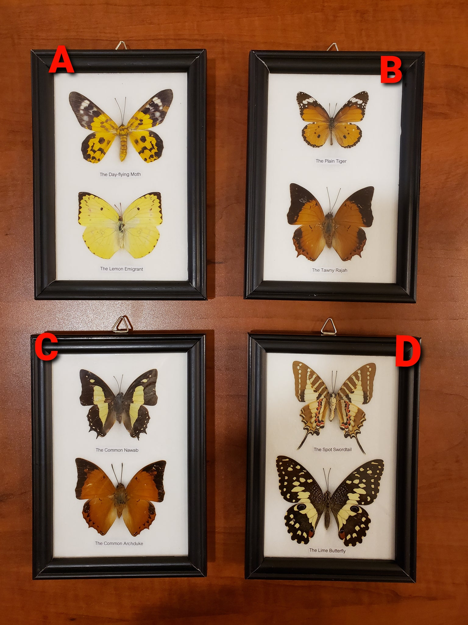 2 piece Butterfly specimen set