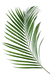 Areca Palm Leaves Small (x10)