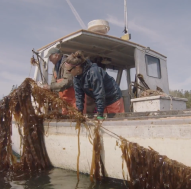 Seaweed Matters: Lobstermen help kelp spread in Maine
