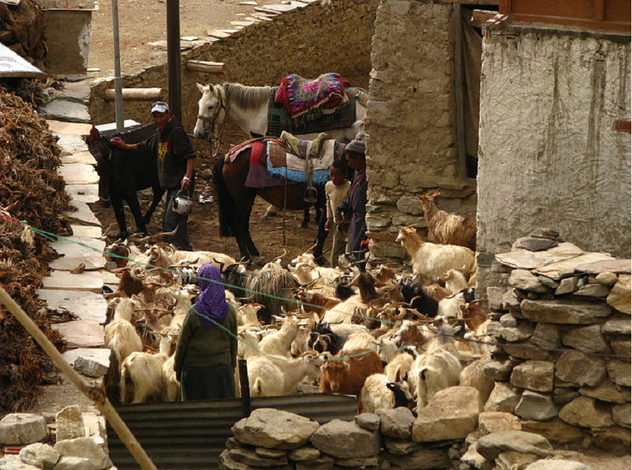 Image: Changpa pastoral family with their herd of goats and horses in Korzok
