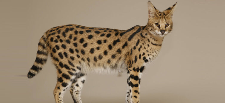 7 Rare Cat Breeds You've Never Heard Of
