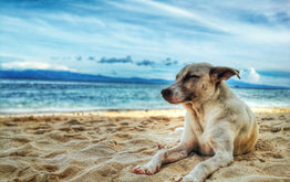 Dog Sunscreen Could Save Your Dog's Life