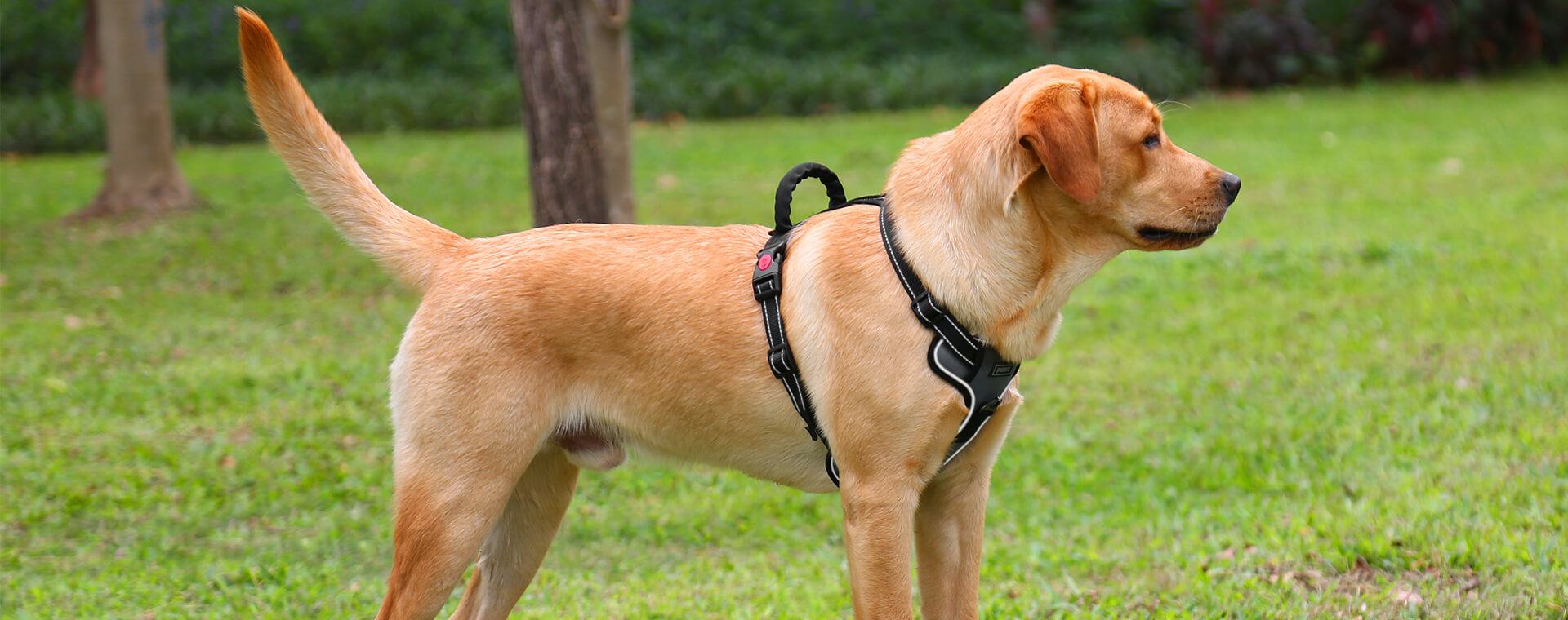 How to Choose the Perfect Dog Harness and Collar