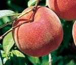 Blazingstar peaches at Rendleman Orchards | Midwest Fruit Orchard | Southern Illinois Orchard