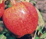 Cameo Apples at Rendleman Orchards | Southern Illinois Midwest Orchard