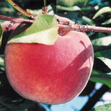 Fayette peaches at Rendleman Orchards | Midwest Fruit Orchard | Southern Illinois Orchard