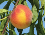 Flamin' Fury PF17 peaches at Rendleman Orchards | Midwest Fruit Orchard | Southern Illinois Orchard