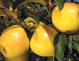 Golden Delicious Apples at Rendleman Orchards | Southern Illinois Midwest Orchard