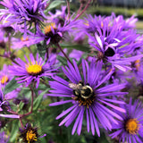 New England Aster visited by a bee