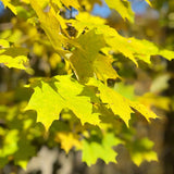 Yellow maple leaves in autumn